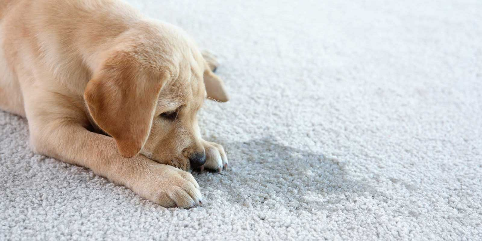 dog lying next to urine spot which requires a professional pet odor removal service