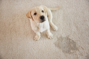 cute dog that has urinated on carpet that needs cleaning