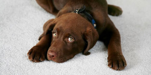 Puppy lying on carpet thats had its odor removed
