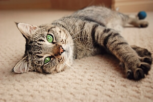 Cat with green eyes laying on carpet