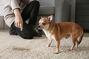 Identifying pet soil stain on carpet
