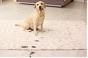 dog tracking dirt onto clean carpet