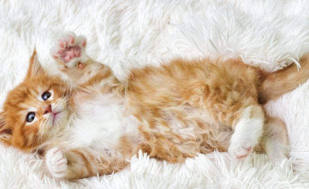 Cute Maine Coone Kitten lying on white furry carpet