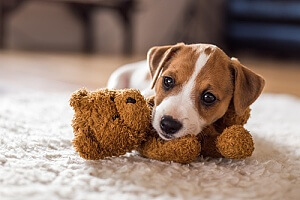 Dog with teddybear on carpet