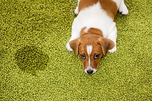 Puppy next to dog urine on carpet
